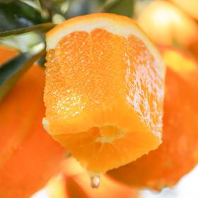 伦晚帝王橙 春橙现摘现发 自家果园橙子 不打蜡  5斤装