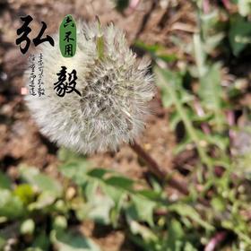 【弘毅六不用生态农场】六不用 野生蒲公英籽 婆婆丁籽 约300粒