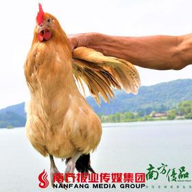 【珠三角包邮】农家散养老母鸡(500天以上) 1.6斤-1.9斤 (7月11日到货)
