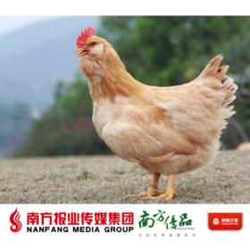 (商家发货)【广东省包邮】广东韶关正宗散养走地鸡 胡须鸡  2.3-2.6斤/只 (48小时内发货)