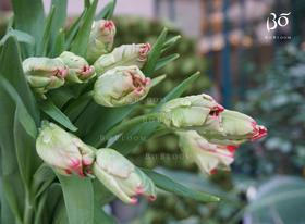 荷兰A级鹦鹉嘴双色重瓣郁金香(红白色/奶油白绿双色)