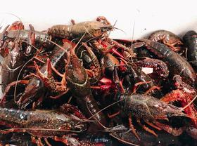 【仅网点自提】本地龙虾 生态养殖 2.5斤装(限苏州市区范围含吴江)