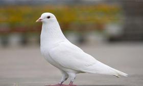 肉鸽(只)
