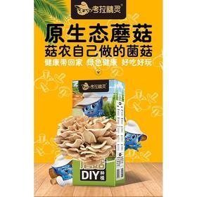 考拉精灵蘑菇种植DIY秀珍菇家庭幼儿园亲子游戏可食用菌菇 2盒装 包邮大部分地区
