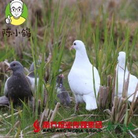 【广东省包邮】陈小鸽鲜中鸽 300g/只 4只装/份(72小时发货)