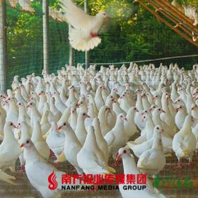 【广东省包邮】陈小鸽鲜老鸽 350g/只 3只/份(72小时发货)