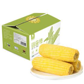 【10根】东北糯玉米甜粘玉米棒非转基因真空包装新鲜即食粗粮免煮