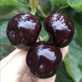 雅安精品车厘子黑珍珠新鲜水果包邮