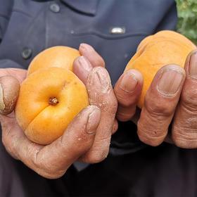 【助农产品】助力团购销售大黄杏给果农带来希望 5斤顺丰包邮