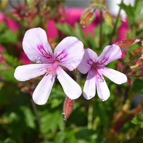 玫瑰天竺葵精油 - 南非产 进口