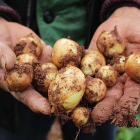 湖北恩施应季新小土豆 炕土豆 现挖现发 净重5斤装/10斤装