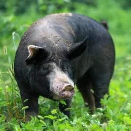 武当农夫黑猪肉各部位