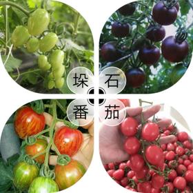 【好味知己体验店】小西红柿5斤装