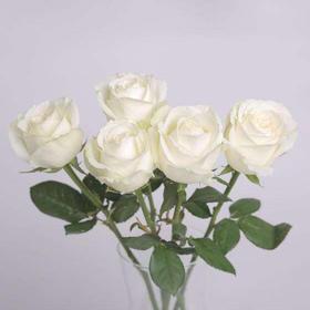 【花木禅】坦尼克精品白玫瑰(BC级)
