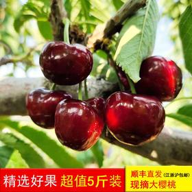 樱山红大樱桃新鲜时令水果现摘产地直供顺丰直发(江浙沪包邮)