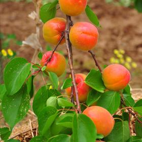 陕西应季丰源红胭脂红杏 果香浓郁 酸甜好味道 包邮