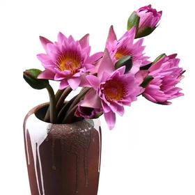 紫色睡莲鲜花8枝+送2枝防损