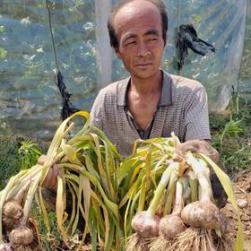 【助农】山东当季紫皮蒜头 多瓣蒜头 新鲜现挖农家大蒜9斤包邮