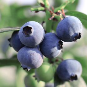 山东露天蓝莓 味甜多汁、果肉饱满、自然成熟 不打药 不打蜡 营养健康