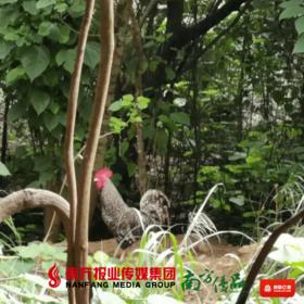 【广东省包邮】 雪毛鸡 2.5斤±2两/只(72小时之内发货)