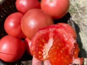 39.9元/5斤!攀枝花露天西红柿来啦!酸甜沙软!现摘现发,顺丰包邮到家