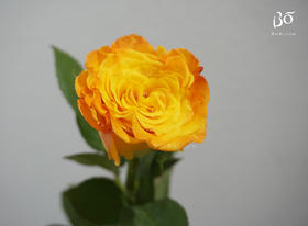 A级黄金海岸玫瑰