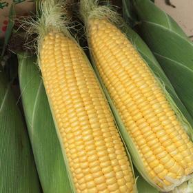 【助农战役】广西水果玉米 鲜嫩多汁 可以生吃的水果玉米  清甜可口 农家种植