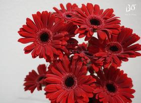 红色非洲菊