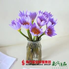 (商家发货)【珠三角包邮】紫色睡莲8枝  (72小时之内发货)