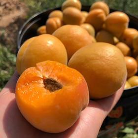 【农道好物精选推荐】凯特大黄杏 个大饱满 颗颗鲜美 5斤超值包邮