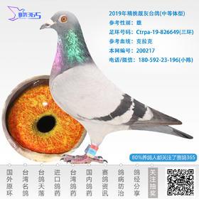 2019年精挑靓灰台鸽-雄-编号200217