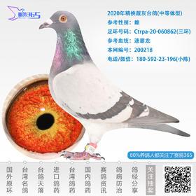 2020年精挑靓灰台鸽-雌-编号200218