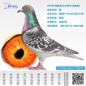 2019年精挑雨点台鸽-雄-编号200230