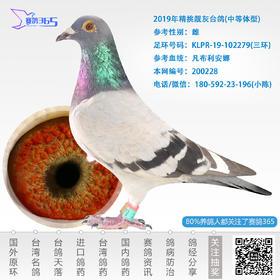 2019年精挑靓灰台鸽-雌-编号200228