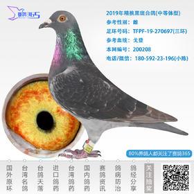 2019年精挑黑斑台鸽-雌-编号200208