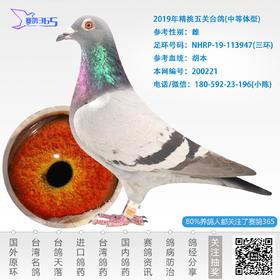 2019年精挑五关台鸽-雌-编号200221