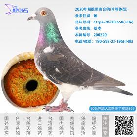 2020年精挑黑斑台鸽-雌-编号200220