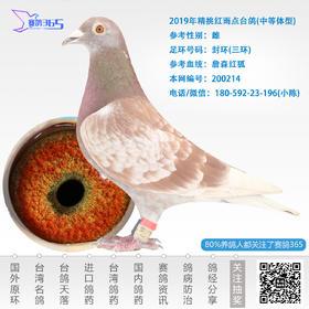 2019年精挑红雨点台鸽-雌-编号200214