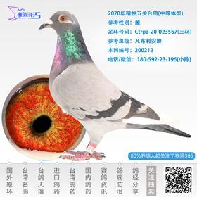 2020年精挑五关台鸽-雌-编号200212