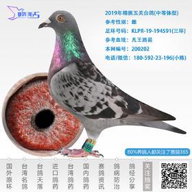 2019年精挑五关台鸽-雌-编号200202