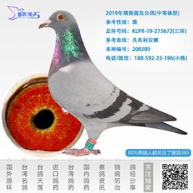 2019年精挑靓灰台鸽-雄-编号200209
