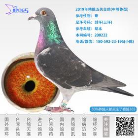 2019年精挑五关台鸽-雄-编号200222