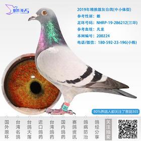 2019年精挑靓灰台鸽-雌-编号200224