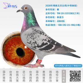 2020年精挑五关台鸽-雌-编号200206