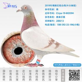 2019年精挑红轮台鸽-雄-编号200213