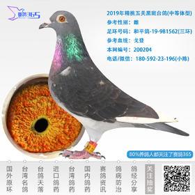 2019年精挑五关黑斑台鸽- 雌-编号200204