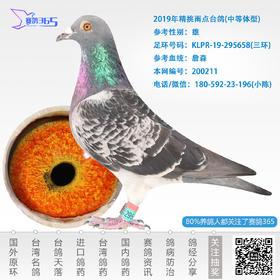 2019年精挑雨点台鸽-雄-编号200211