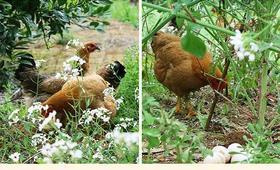 房县土母鸡3.5斤-4斤