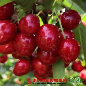 【珠三角包邮】萨米特樱桃中大果 3斤±3两/  箱(6月5日到货)