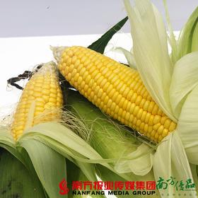 【珠三角包邮】连州泰玉玉米 (8月15日到货)